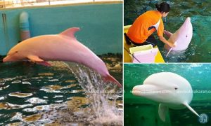 Pic shows: The rare albino dolphin that has no colouration apart from a tendency to turn pink when feeling flushed.nnA rare albino dolphin which can go from white to pink when it's feeling flushed is pulling in the crowds at a water park in Japan.nnAl