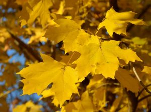 leaves silver maple yellow 11-14-12
