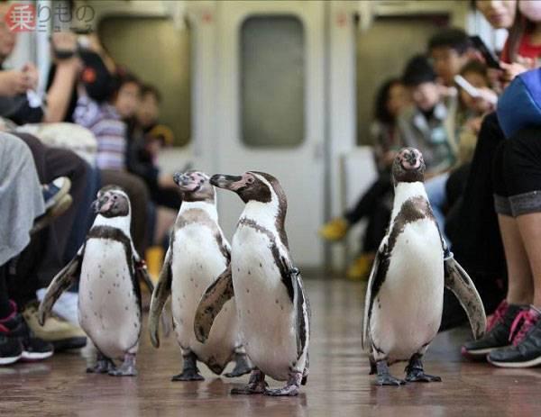 """Thích thú ngắm chim cánh cụt """"lạch bạch dạo chơi"""" trên tàu điện"""