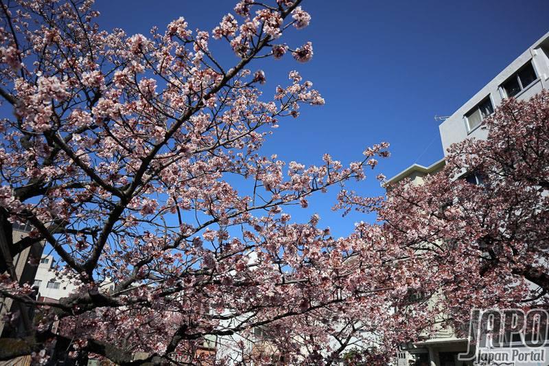 Cận cảnh hoa Anh Đào nở sớm nhất Nhật Bản bừng nở, làm thổn thức mùa đông