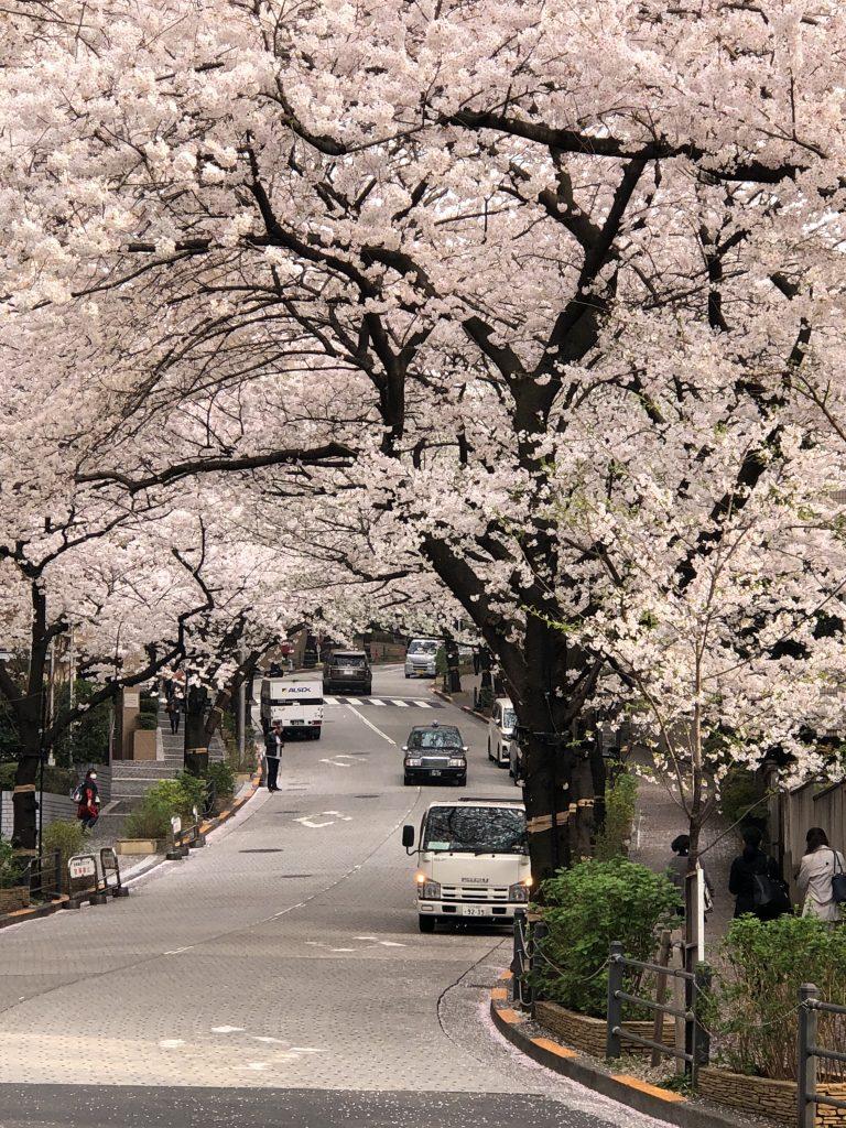 Nếu tưởng Sakura – hoa anh đào Nhật Bản chỉ có một loại thì bạn đã nhầm to rồi