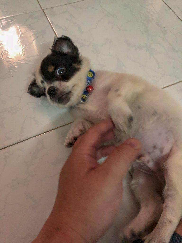 """Người Nhật giải thích """"thuyết âm mưu"""" của Chó khi nằm ngửa cho người vuốt bụng"""