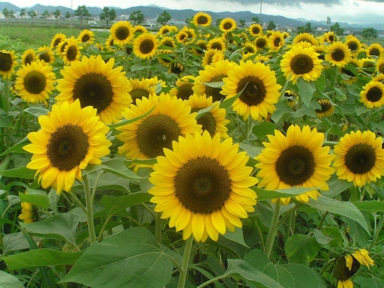 """Phương pháp """"hoa Hướng Dương"""" – Bí quyết giúp doanh nghiệp Nhật Bản giữ chân 96% nhân viên trong điều kiện đào thải khắc nghiệt"""