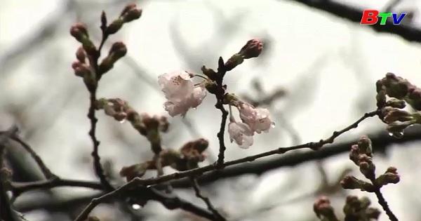Hiện tượng hiếm gặp: hoa Anh Đào nở giữa…… mùa thu ở Nhật Bản