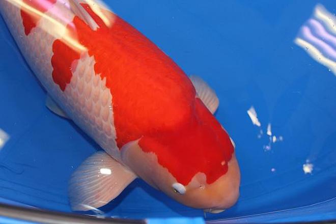 """Đây là """"nữ hoàng"""" cá Koi đắt nhất thế giới với giá gần……… 42 tỷ đồng"""