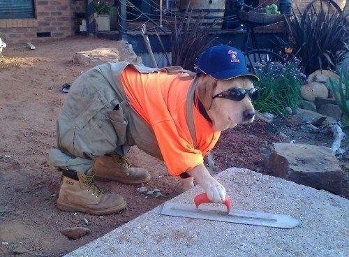 """Đây là thời đại người Nhật đưa """"Chó"""" vào giúp việc tại công trường xây dựng"""