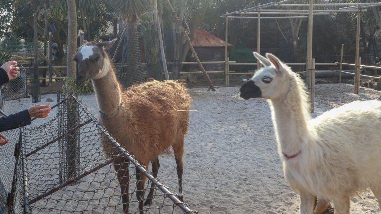 Dân mạng phát cuồng vì trận chiến của Alpaca ở Niigata