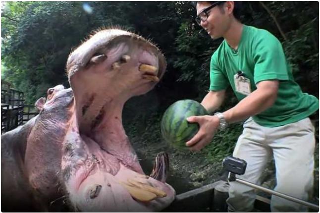 Video hà mã tại vườn thú Nagasaki thu hút hàng chục triệu lượt xem nhờ… ăn dưa hấu