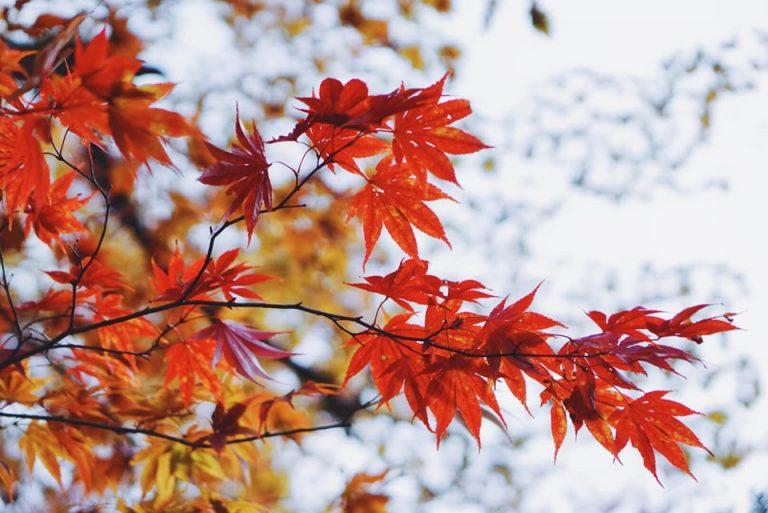 Cập nhật lịch ngắm lá đỏ ở Nhật Bản năm 2019