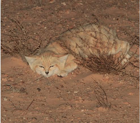 Mèo Sa mạc, giống mèo bé nhất thế giới đã xuất hiện ở Nhật Bản
