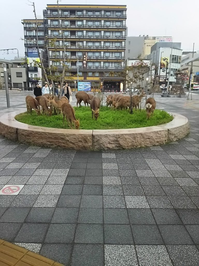 """Hươu Nara """"tràn đến"""" cửa hàng tiện lợi, nhà ga để kiếm ăn vì không có khách du lịch"""
