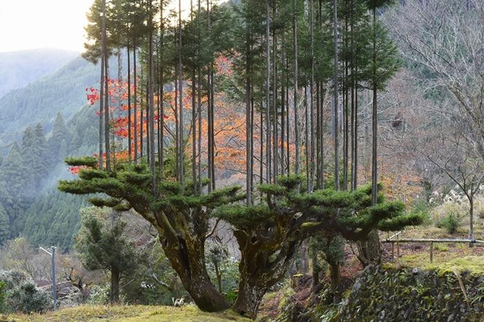 Kỹ thuật cổ xưa của người Nhật từ thế kỷ 14, lấy gỗ mà không cần phải chặt cây