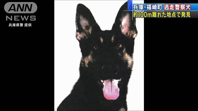 Chó nghiệp vụ Nhật Bản bỏ trốn khi đang làm nhiệm vụ