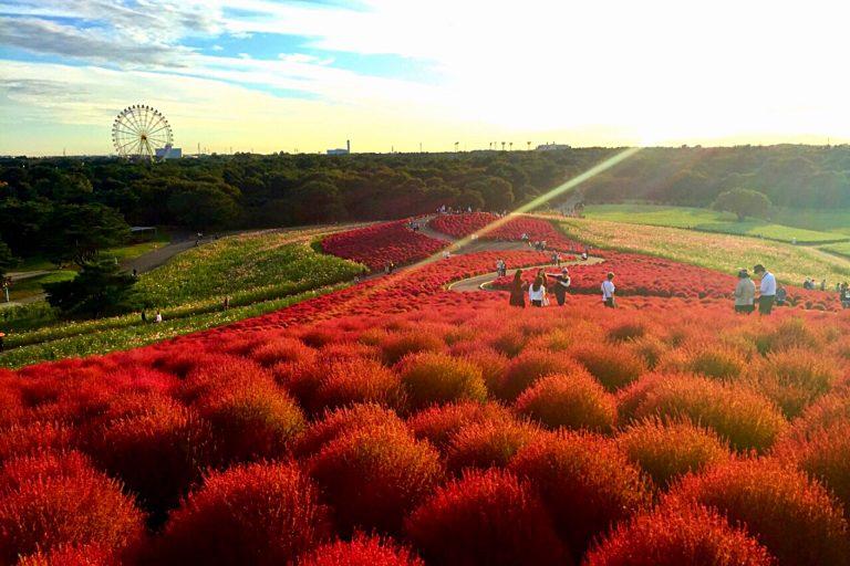 Nhanh chân lên, thời điểm ngắm 32.000 cây Kokia đổi màu đã đến