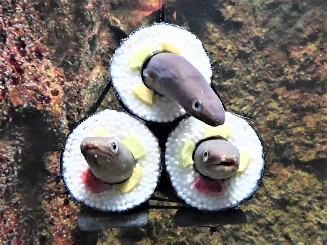 Thuỷ cung ở Nhật Bản gây chú ý khi trang trí bể cá bằng ống nhựa màu đen giống cuộn Sushi khổng lồ