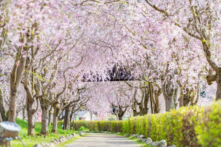 Muôn màu sắc hoa xuân ở Ibaraki