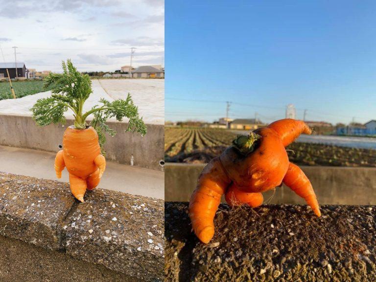 Nông dân Nhật Bản thu hoạch được Cà rốt anh hùng mập lùn béo ú đáng yêu