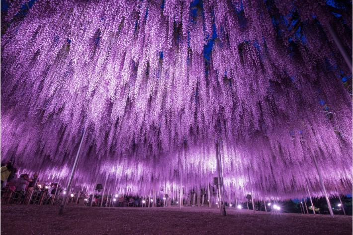 Hoa Tử Đằng ở Công viên Hoa Ashikaga nở sớm, du khách có thể thăm quan bắt đầu từ ngày 15 tháng 4 năm 2021
