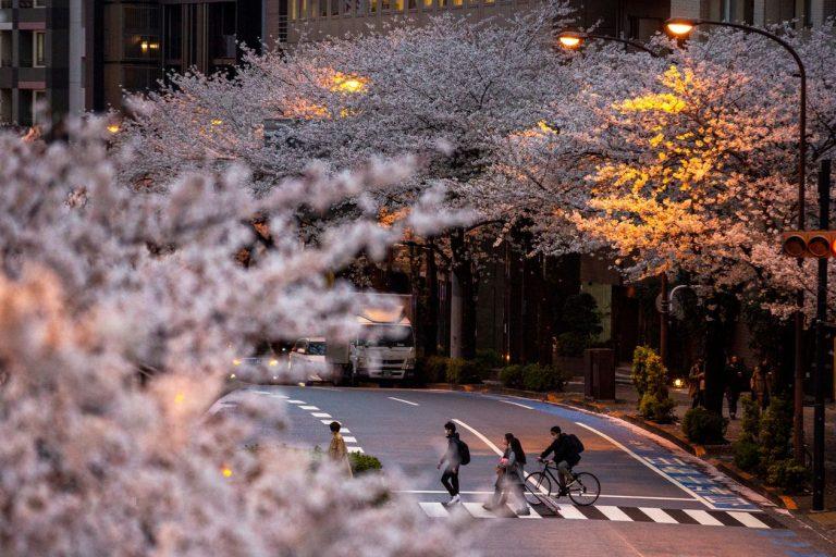 Lý do đáng lo ngại về việc hoa Anh Đào Nhật Bản nở sớm trong năm nay