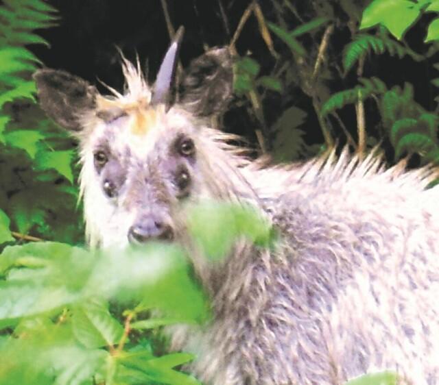 """Sự thật đằng sau tấm hình loài linh dương """"4 mắt"""" được chụp tại tỉnh Miyagi Nhật Bản"""