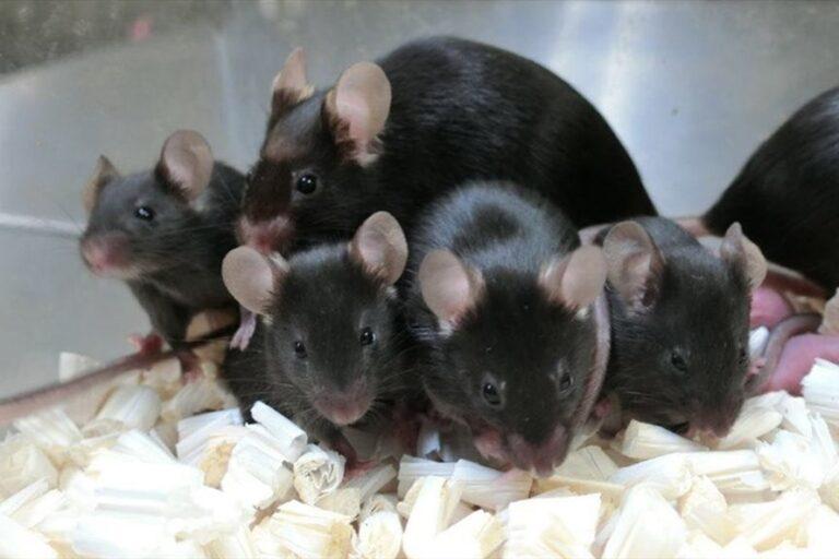 """Nghiên cứu bức xạ không gian của Nhật Bản- """"Chuột con không gian"""" đã được sinh ra từ tinh trùng đông khô 5, lưu trữ trên trạm vũ trụ"""